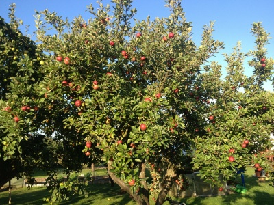 apple-56339_400x300